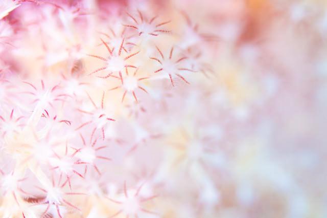 花のようなトゲトサカのポリプの写真