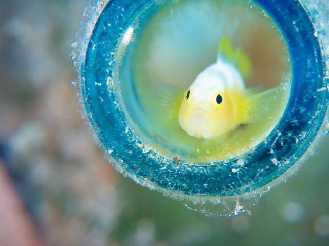 身を潜める小さなナカモトイロワケハゼ(ハゼ科)の写真