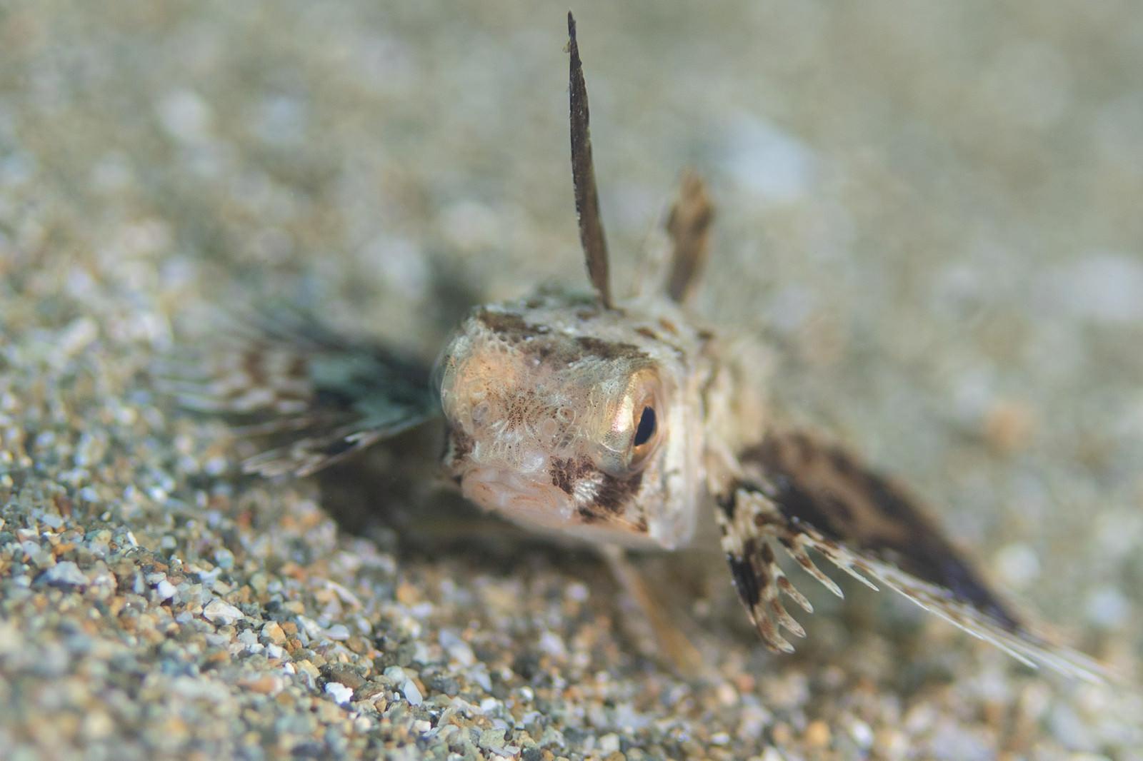 「近づき過ぎたセミホウボウの稚魚(カサゴ目)」の写真