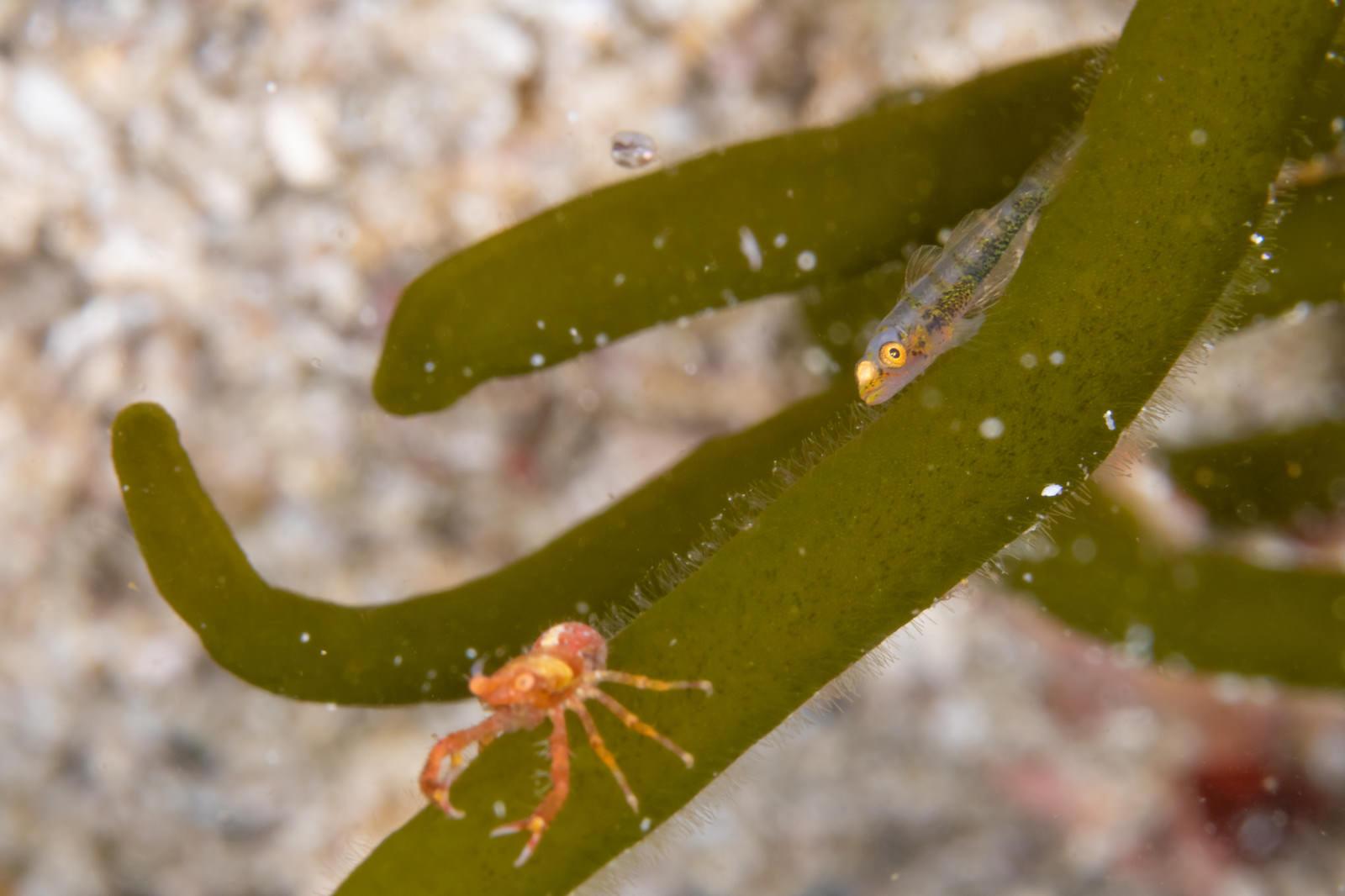 「チュウコシオリエビを追いかけるガラスハゼ(ハゼ科)」の写真
