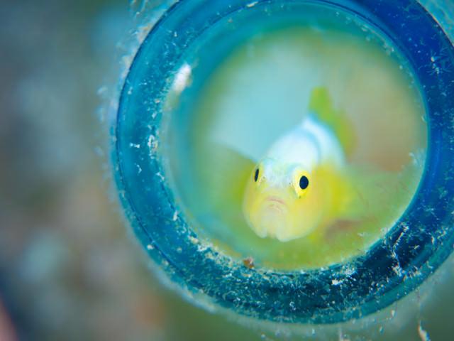 容器の中から様子を窺うナカモトイロワケハゼ(ハゼ科)の写真
