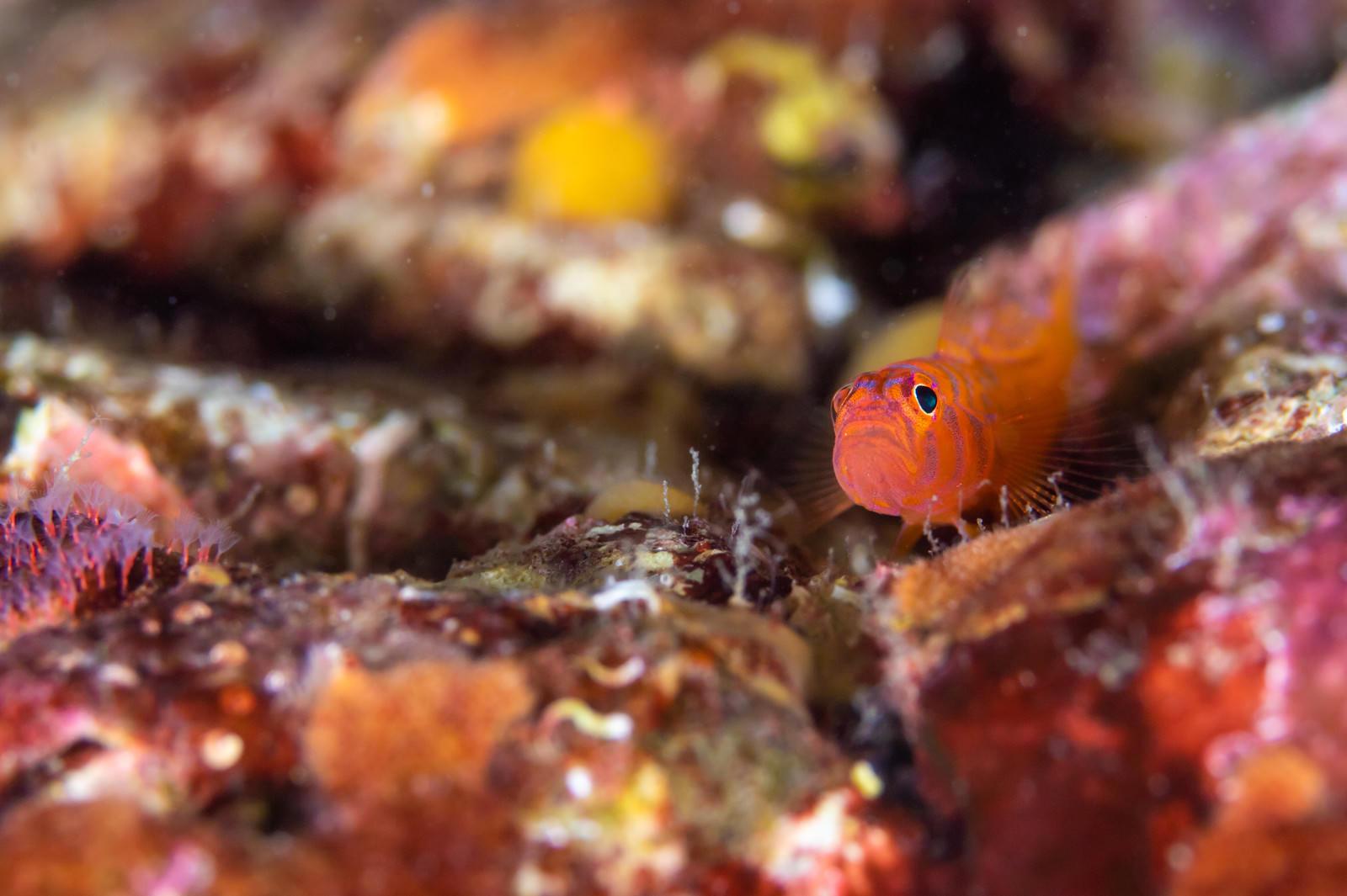 「海底に潜むオキナワベニハゼ(ハゼ科) | 写真の無料素材・フリー素材 - ぱくたそ」の写真