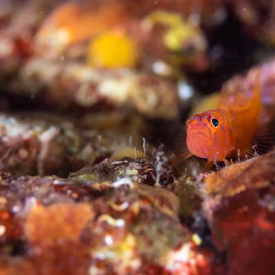 海底に潜むオキナワベニハゼ(ハゼ科)の写真