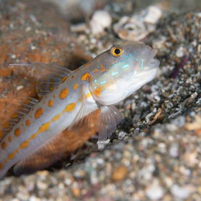 オレンジ色の斑点を持つオトメハゼ(ハゼ科)の写真