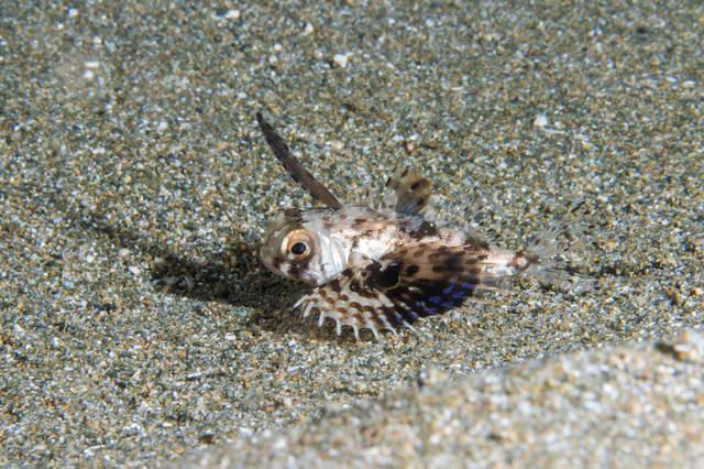 遊離棘を持つセミホウボウ(幼魚)の写真