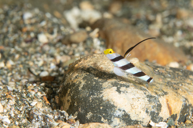 岩の上で休憩するヒレナガネジリンボウ(ハゼ科)の写真