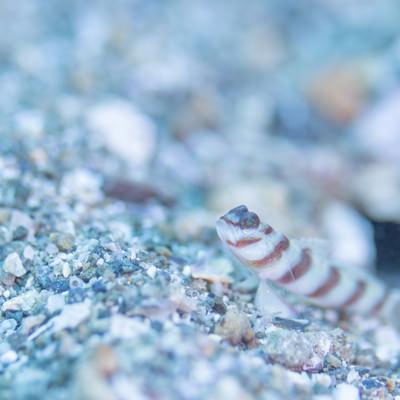 海底の砂利に潜むハチマキダテハゼ(ハゼ科)の写真