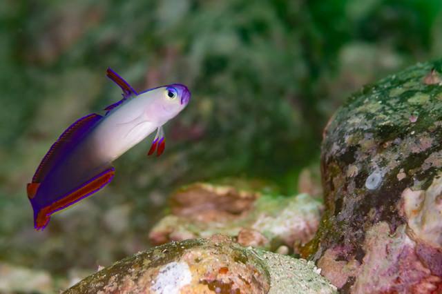 鮮やかな色のアケボノハゼ(クロユリハゼ科)の写真