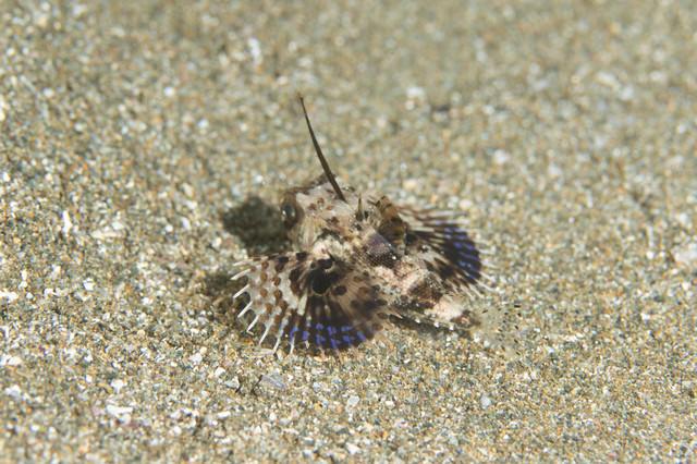 砂地を逃げるセミホウボウの稚魚(カサゴ目)の写真