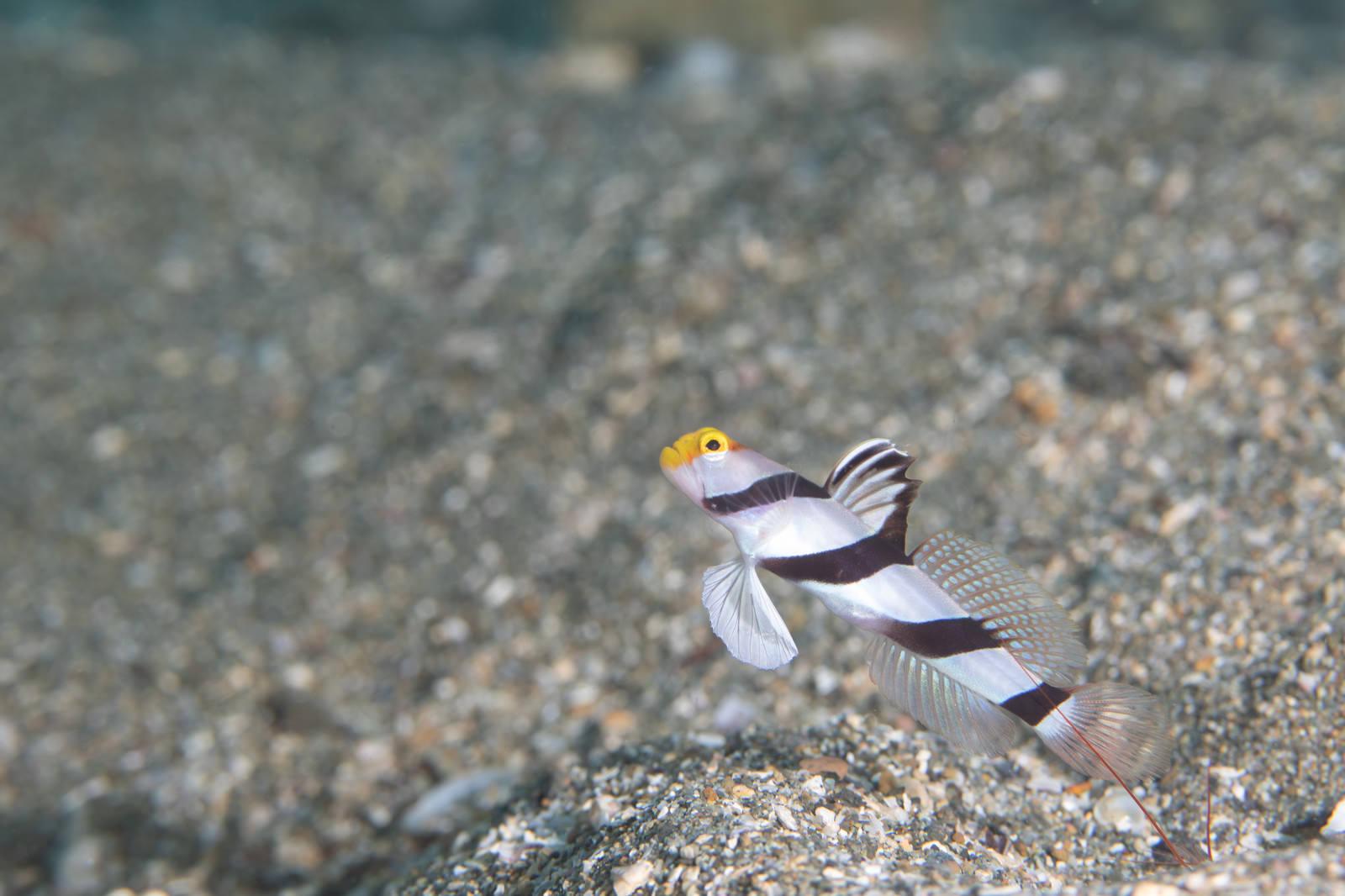 「黄色い顔のネジリンボウ(ハゼ科)」の写真