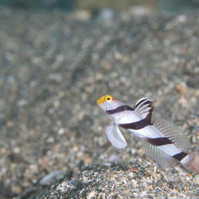 黄色い顔のネジリンボウ(ハゼ科)の写真