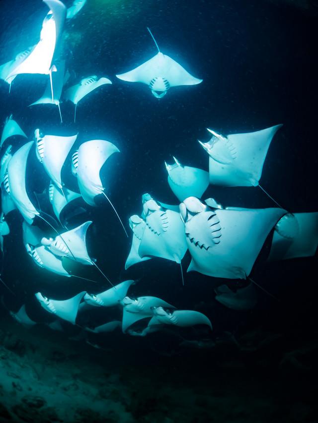 モブラの大群(海中)の写真