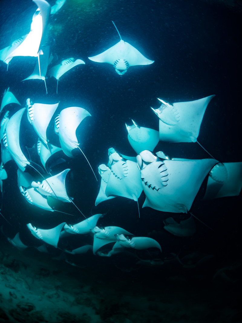 「モブラの大群(海中)」の写真
