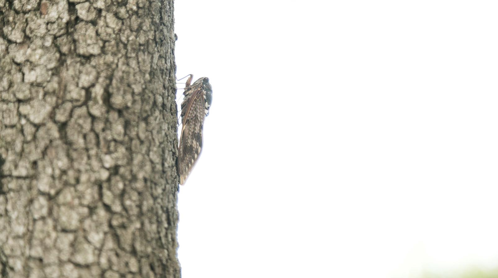 「木に止まる蝉(横から)」の写真