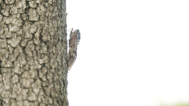 木に止まる蝉(横から)の写真