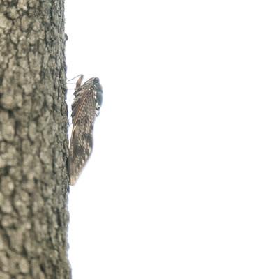 「木に止まる蝉(横から)」の写真素材
