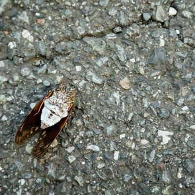 「アスファルトでセミ(蝉)ファイナル」の写真素材