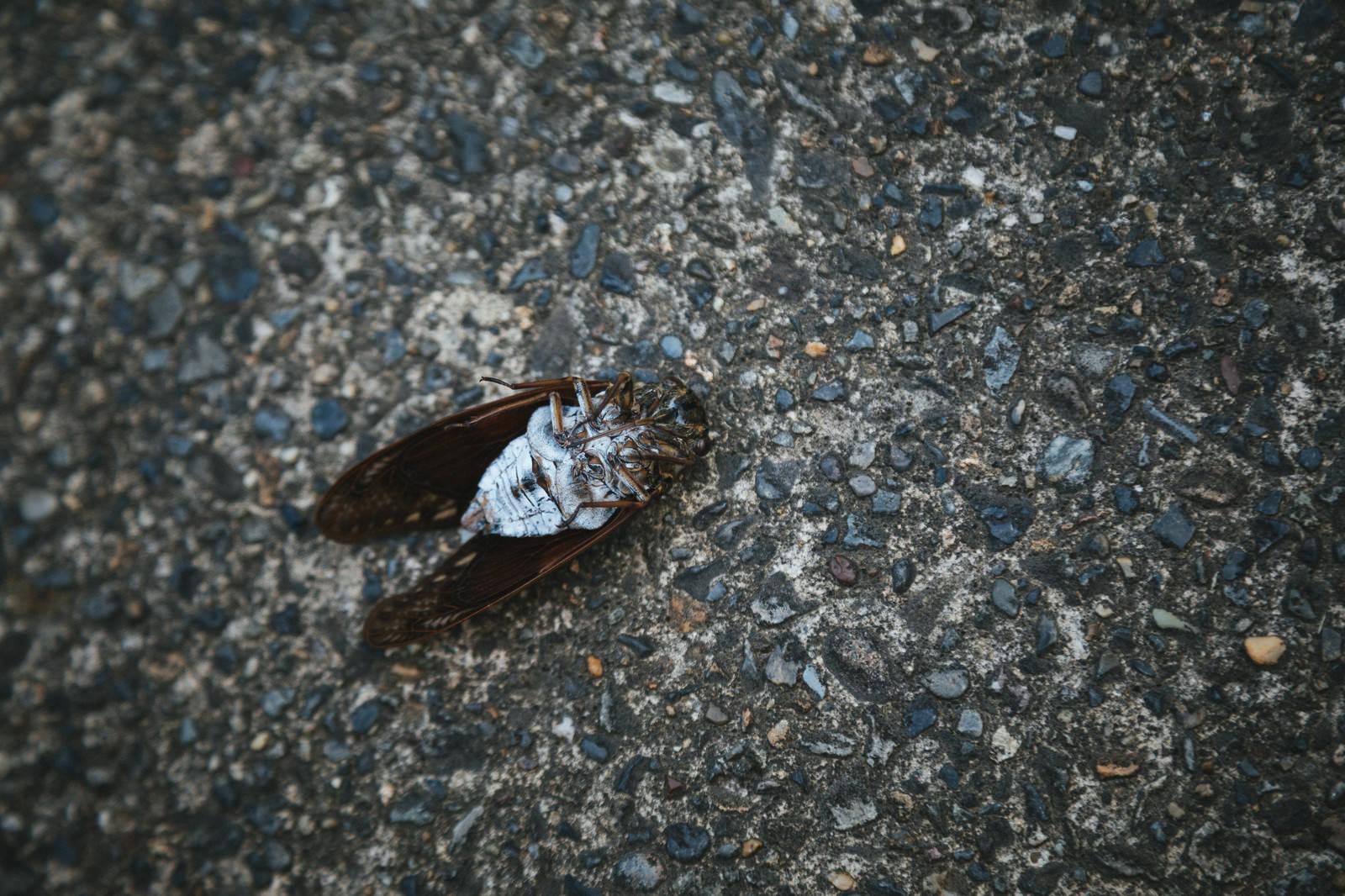 「[閲覧注意]足が閉じているので蝉の死骸」の写真