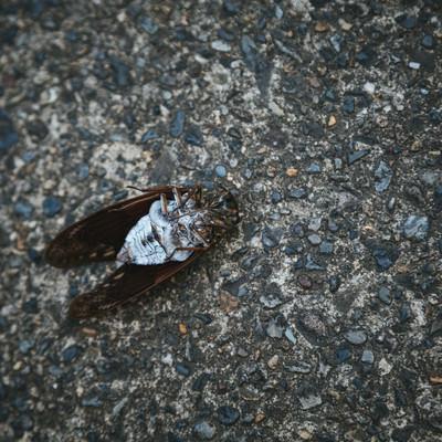 「[閲覧注意]足が閉じているので蝉の死骸」の写真素材