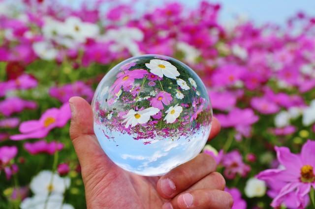 コスモス畑と水晶玉の写真