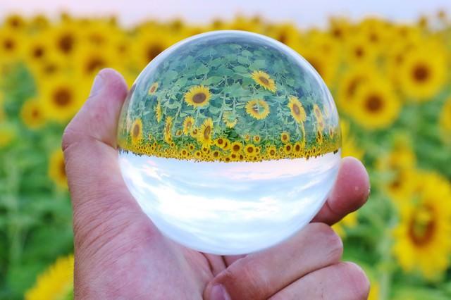 向日葵畑と水晶玉の写真