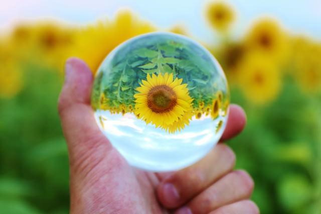 大輪ひまわりをガラス玉から覗くの写真