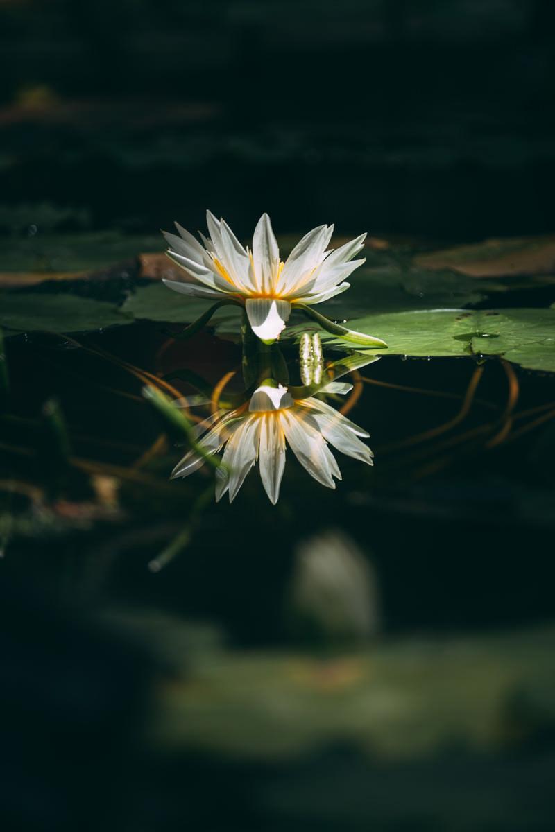 「水面に沈む茎と反映する花が重なる睡蓮」の写真