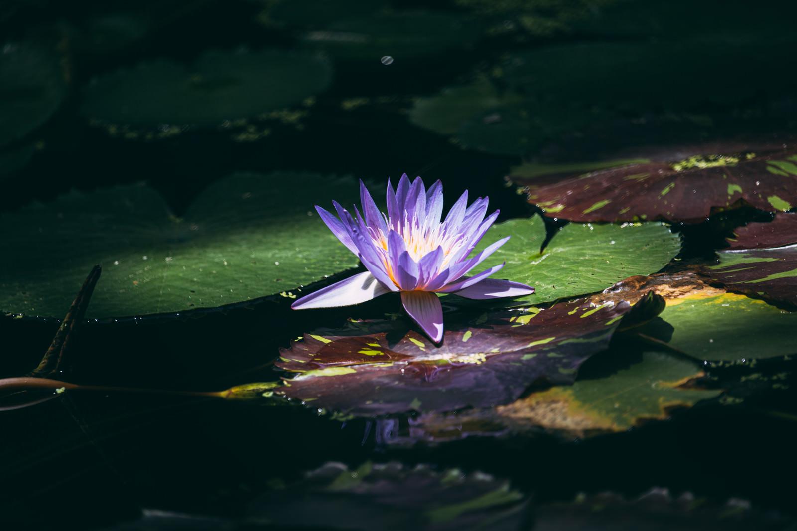 「スポットライトが当たったような紫睡蓮」の写真