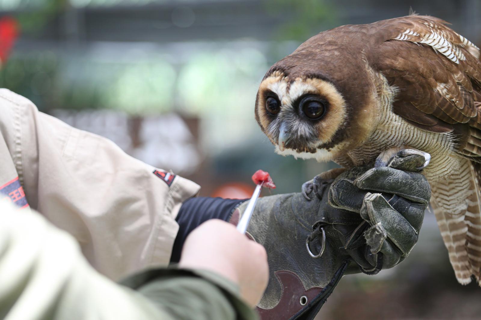 「飼育員に餌付けされるフクロウ」の写真