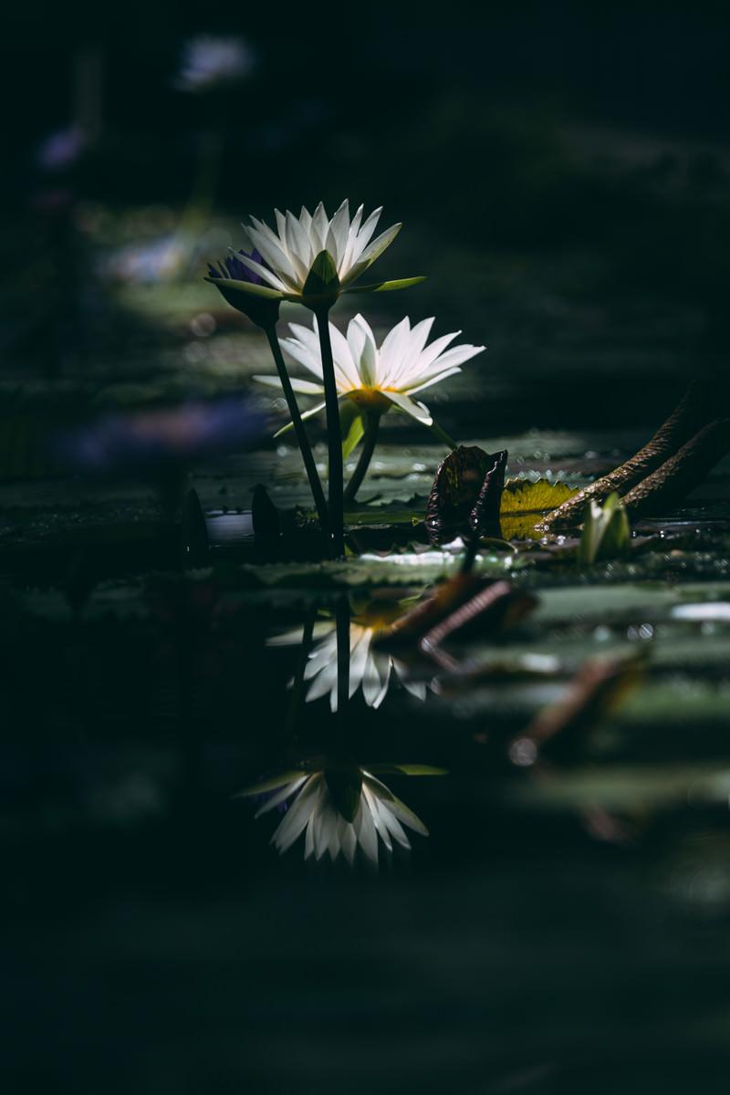 「暗闇の水面に反映する睡蓮」の写真