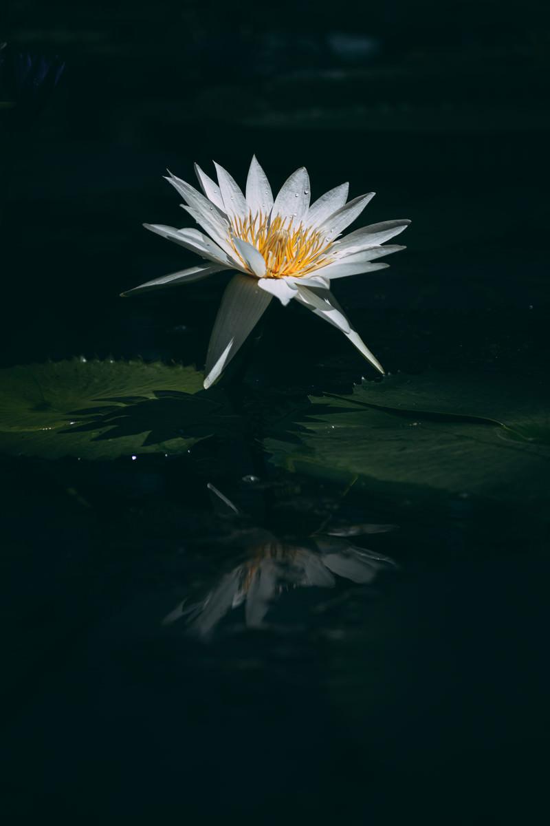 「水面に反映する睡蓮の影」の写真