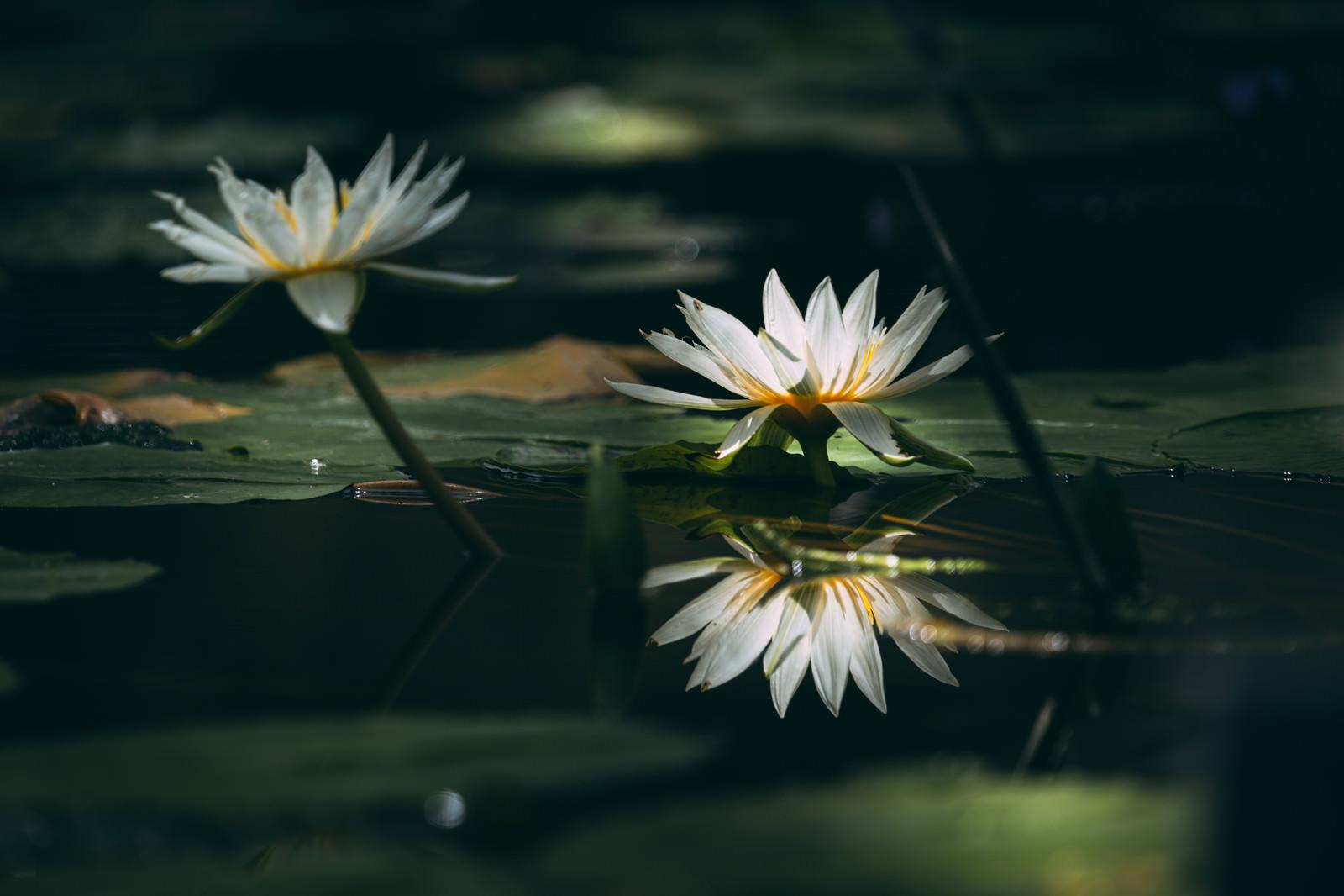 「二つ並んだ水面に映る睡蓮」の写真