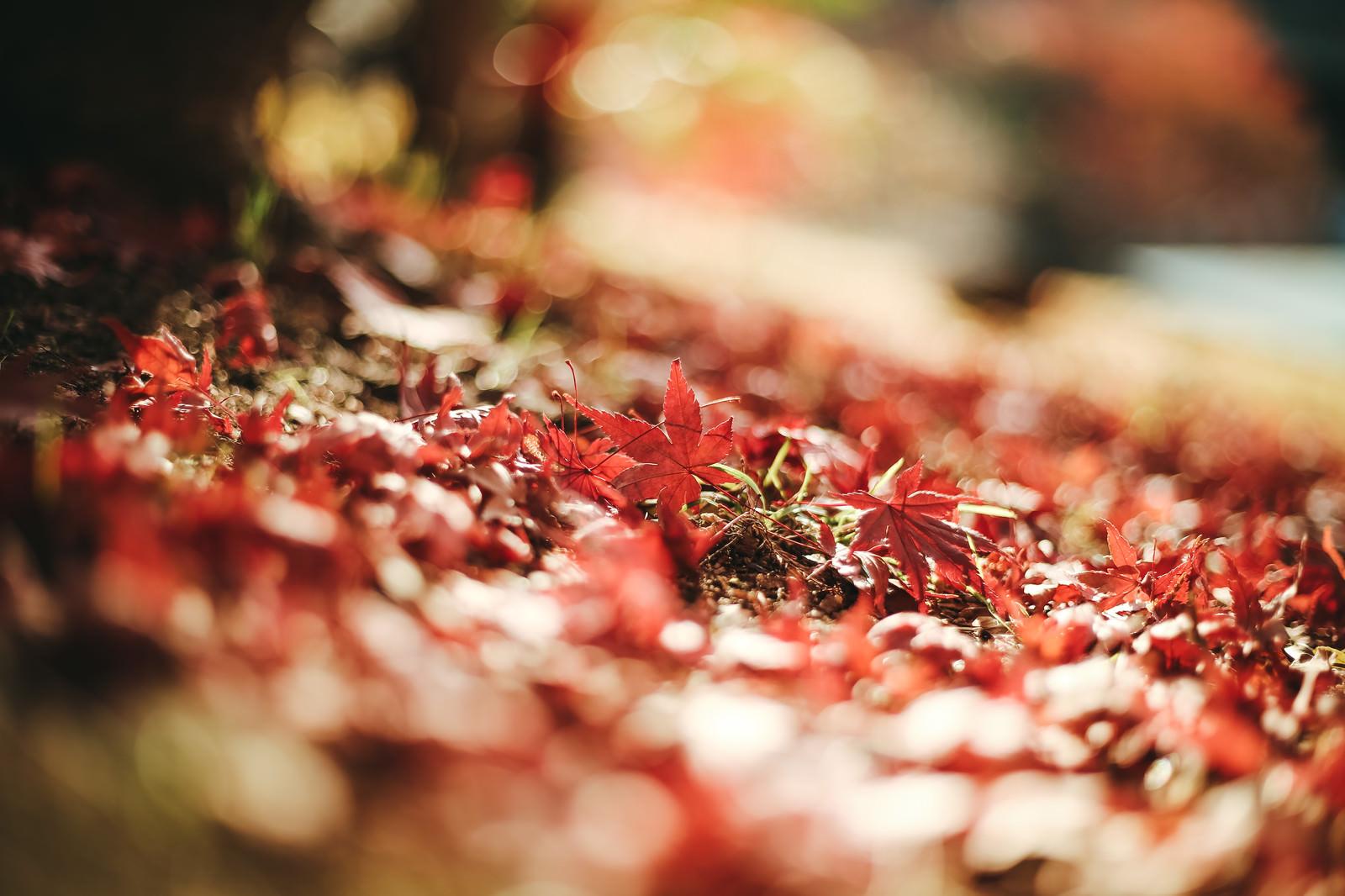 「落葉した紅葉」の写真