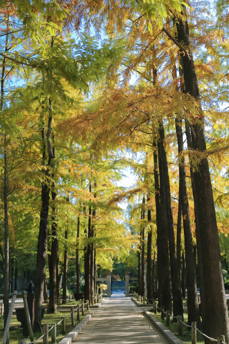 「黄葉する木々の下を通る道」の写真