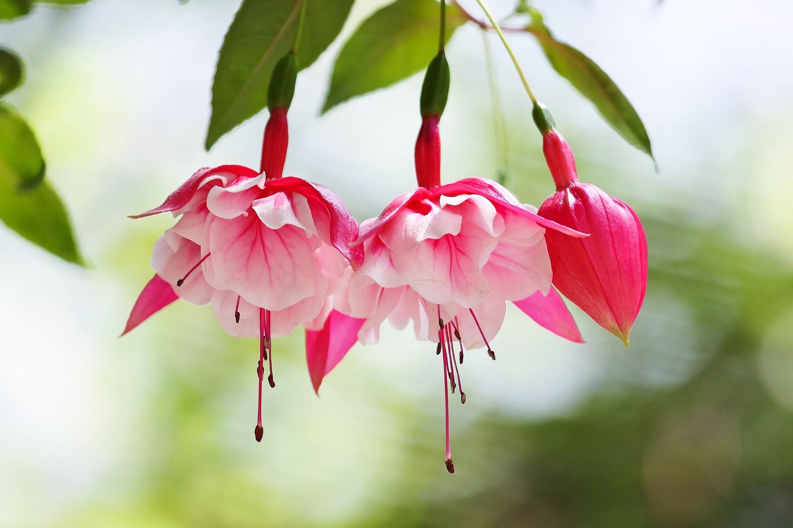 「開花を始めたフクシアの花」の写真