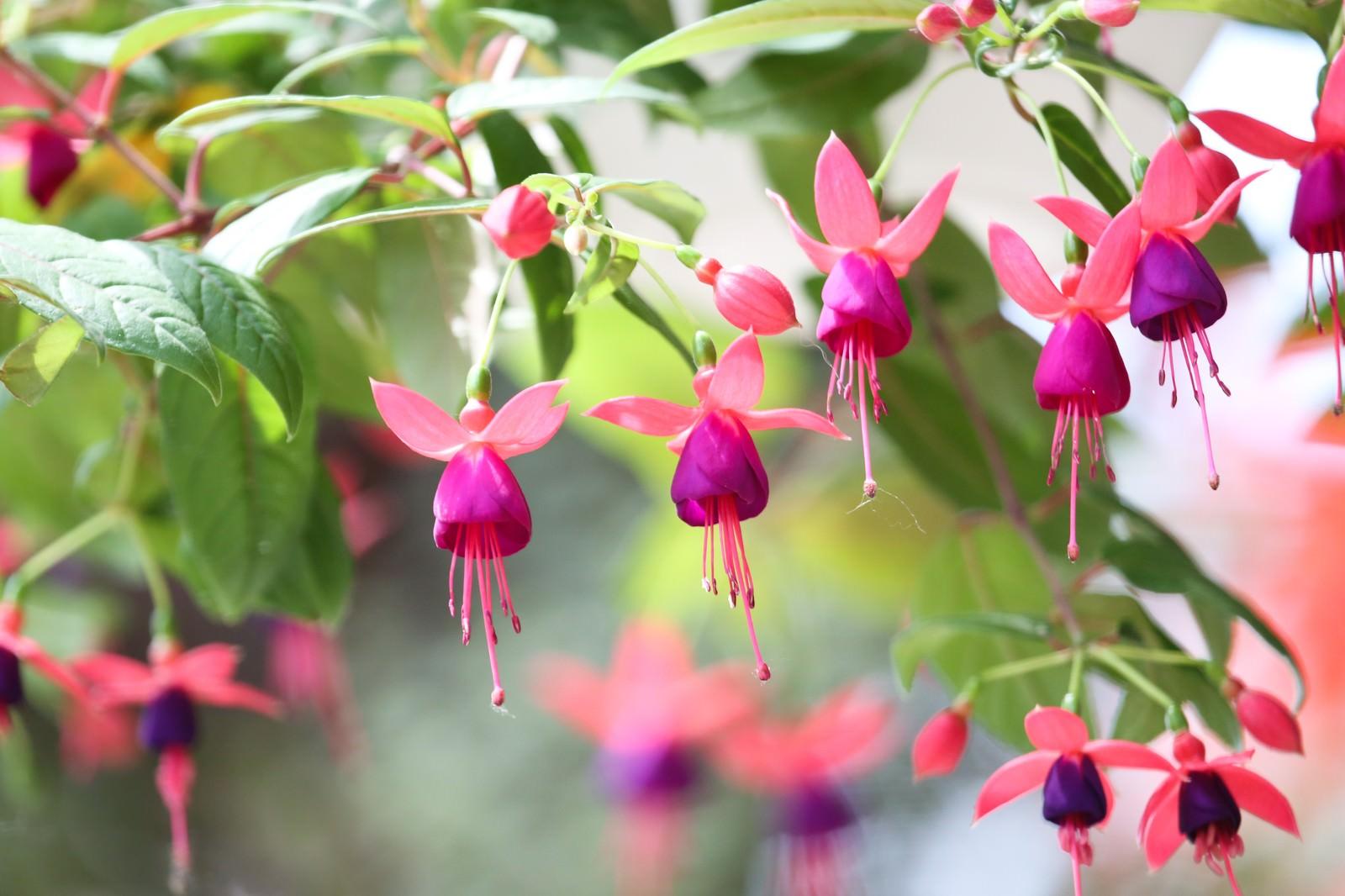「たくさんの花をつけるフクシアの花」の写真