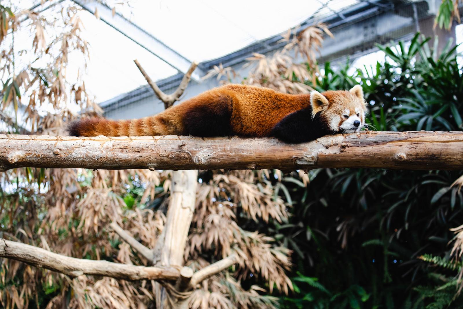 「寝たら落ちそうなレッサーパンダ」の写真