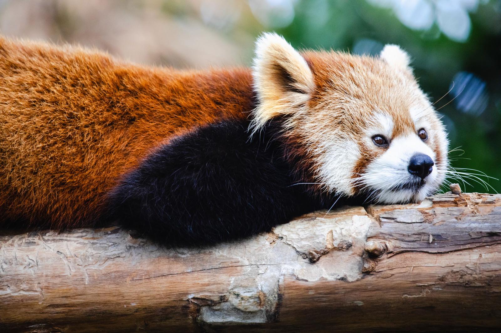 「横になって考えてみた(レッサーパンダ)」の写真