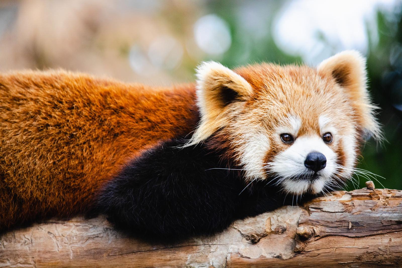 「ごろ寝中のレッサーパンダさん」の写真