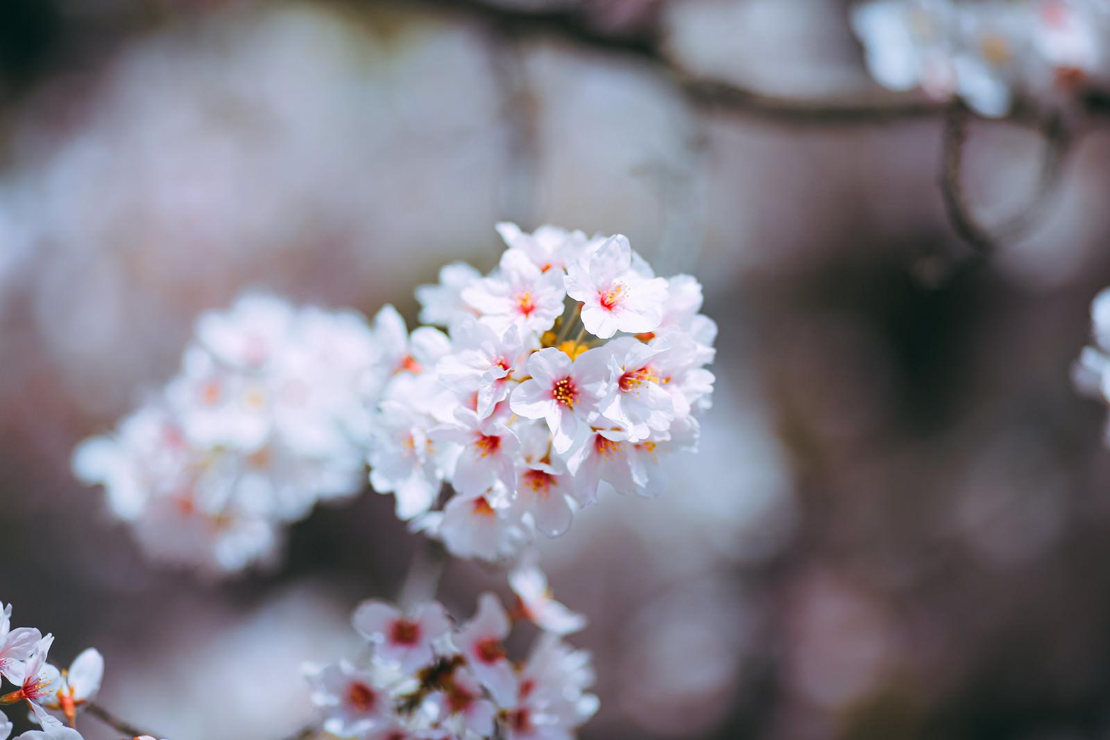 「ふんわり桜の花」の写真