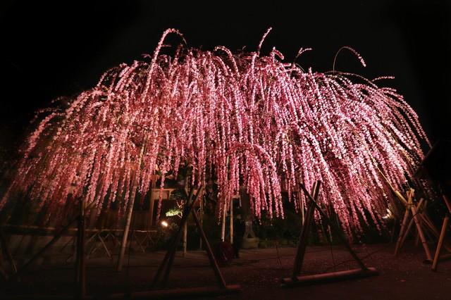 ライトアップされた枝垂れ梅の写真