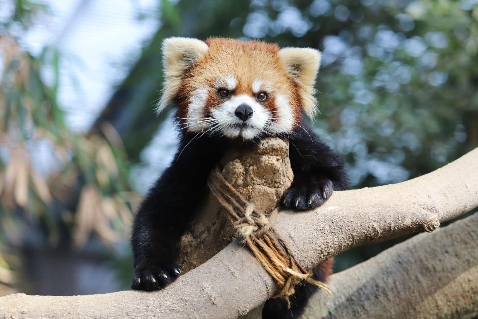 「木登り上手なレッサーパンダ」の写真
