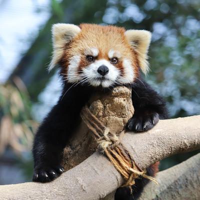木登り上手なレッサーパンダの写真