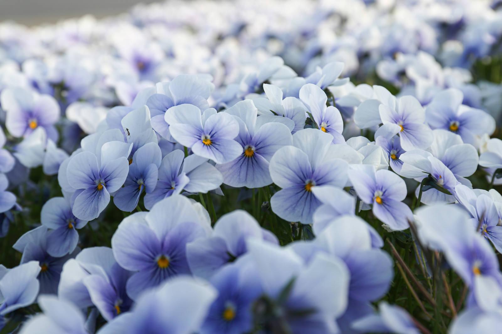 「花壇に咲くビオラ」の写真