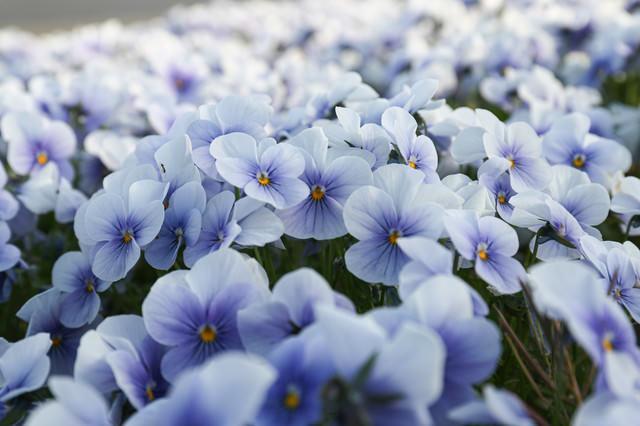 花壇に咲くビオラの写真