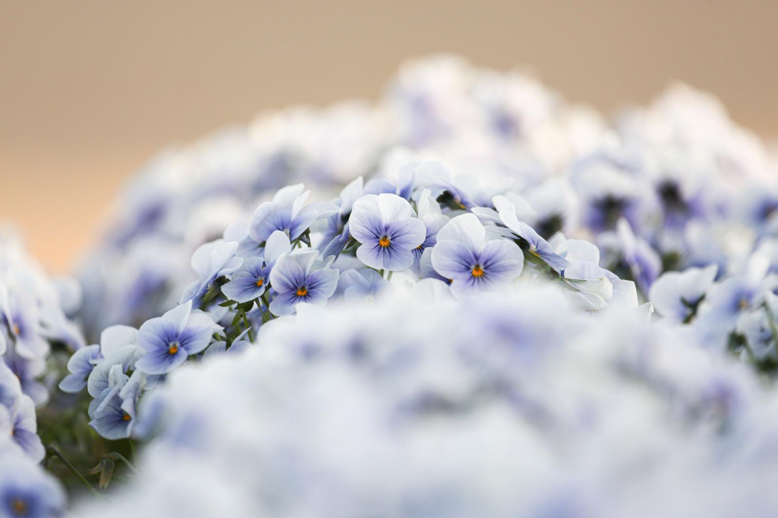 「園に咲くビオラ」の写真