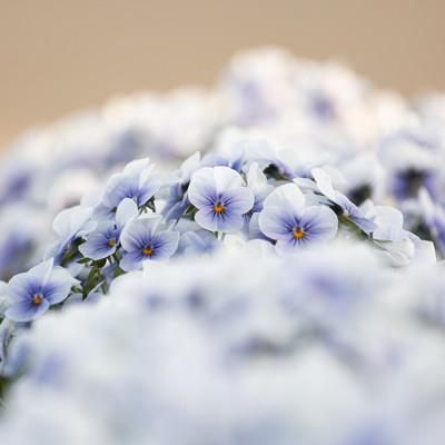 園に咲くビオラの写真