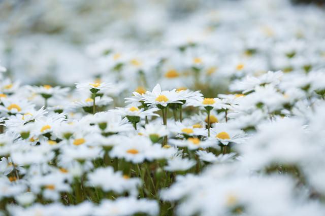 あたり一面に咲くマーガレットの写真