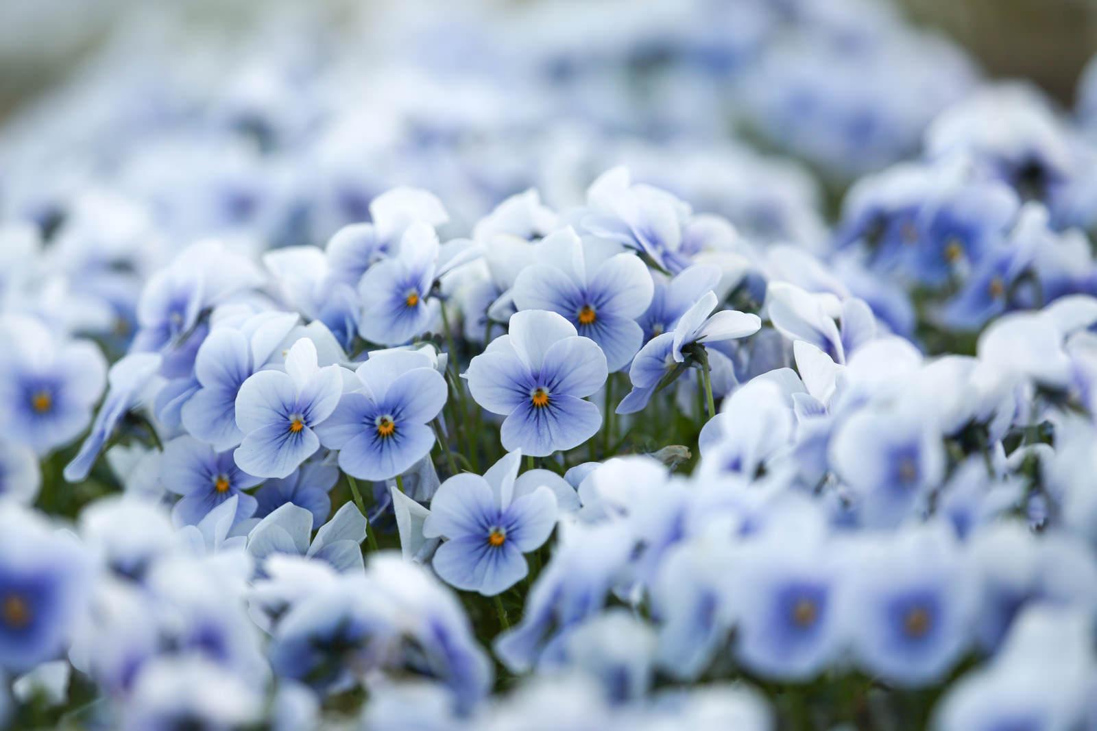 「ビオラの花」の写真