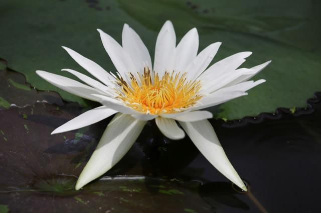 池に浮かび花開く睡蓮の写真